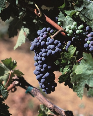 Effect of irrigation with diluted winery wastewater on Cabernet Sauvignon juice and wine pH