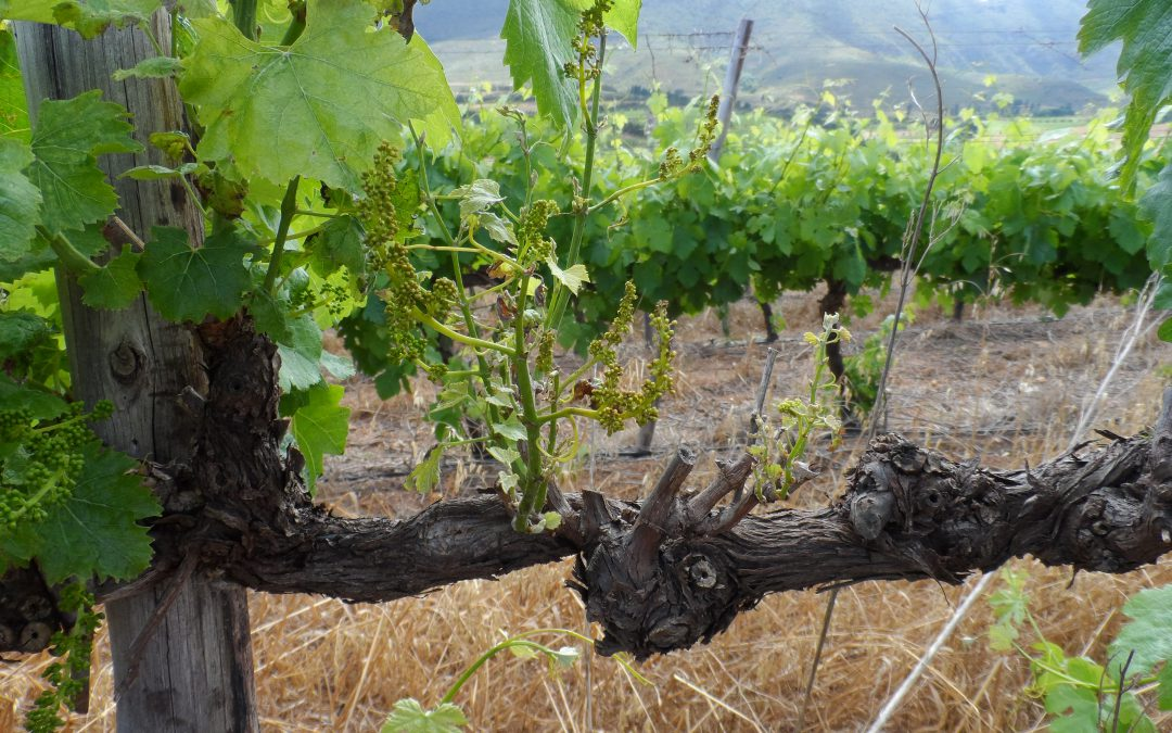 Wound protection in vineyards