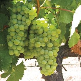The myth of natural winemaking