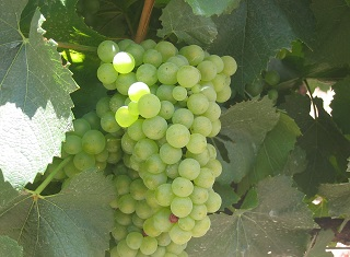 Australian Chardonnay making practices