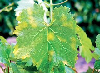 Grapevine versus pathogen – an ongoing battle