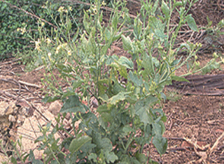 The effect of cover crops and soil management on weeds (Part 2) – wild radish