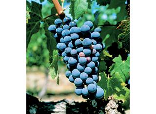 Soil type effects on Merlot wine quality in Elgin