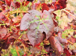 Proving the aetiology of two important grapevine viral diseases remains a challenge
