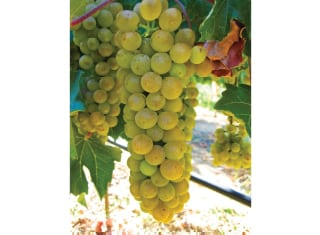 Lesser-known white wine cultivars (Part 2)