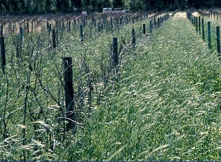 Effect of irrigation by means of micro-sprinklers and drippers on the performance of triticale