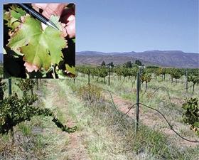 Vineyard responses to salinity-associated soil chemical properties