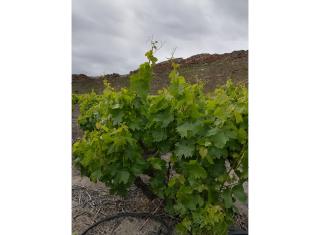 Sensing grapevine water status
