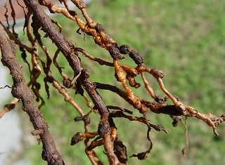 Root-knot nematodes on cover crops