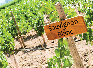 Soil type effects on Sauvignon blanc wine quality in Elgin