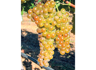 Lesser-known white wine cultivars (Part 1)