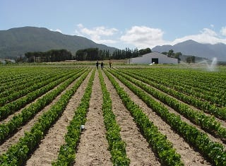 Can young vines be protected against leafroll infection by applying systemic insecticides in the nursery?