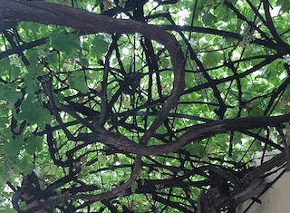 The incredible story of 'The Old Lady': 250-year old fruit-bearing vine in CT's Company Gardens