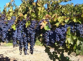 Vineyard lifetime – protection of a valuable asset