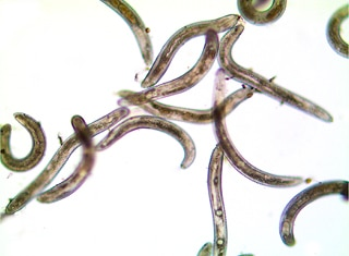 Ring nematode in grapevine – a major problem for producers and researchers