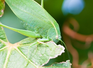 Katydid ecology in vineyards