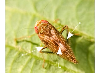Indigenous leafhopper transmits aster yellows